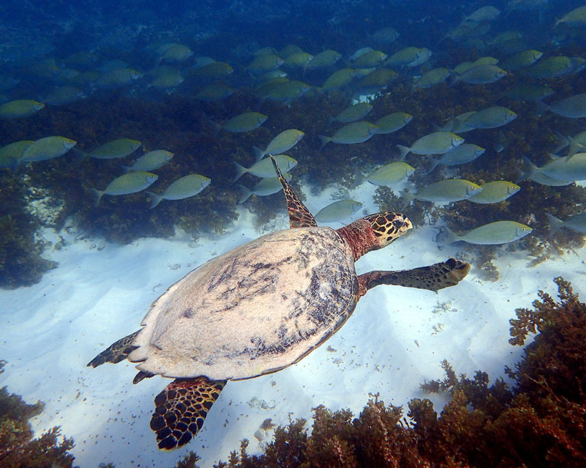 School of rabbitfish and male Hawksbill turtle rarely see on land (Photo: Cheryl Sanchez)