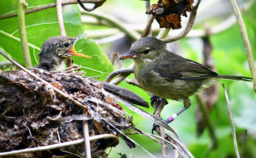 The Seychelles warbler is a poster child for successful conservation Photo Charli Davies