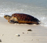 Hawksbill female emerges from the sea