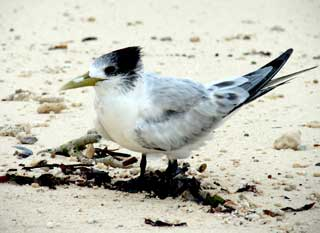 greater tern