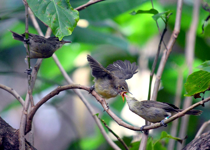 warblers share the care of young between parents and helpers Photo CharlieDavies